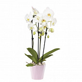Avalanche - céramique - phalaenopsis cascade pot 12