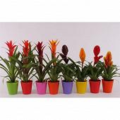 Bromelia varies dans pot deco en plastique diam 9 cm hauteur 30 cm