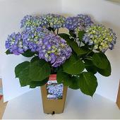 Le jardin de valentin hydrangea hortensias bell hortens bleu/violet bouton fleuri 5.5 litres or