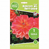 Happy pousse dahlia buisson nain valentino calibre 1x1