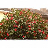 Camellia japonica varies c4/4,5