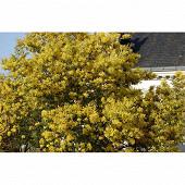 Acacia dealbata le gaulois c3 /c4,5