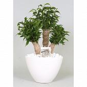 Ficus 3 branches cera blc  pot 18cm