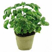 Basilic grand vert bio pot 1 litre biodégradable