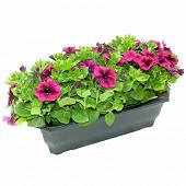 Petunia retombant jardiniere 50 cm