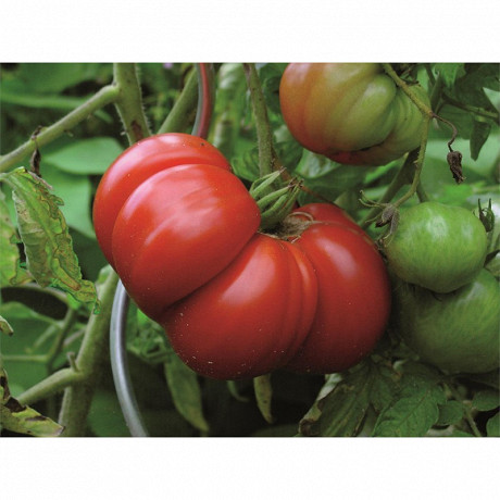 Tomate supersteak bio pot 1 litre