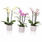 Différents modèles de phalaenopsis 3 tiges dans pot déco