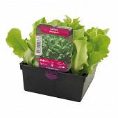 Laitue novappia 12 plants