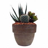 Cactus et succulentes variés Composition pot Montalto 12cm 17/23