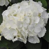 Hydrangea macrophylla primeur force blanc c5l