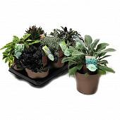 Plantes vivaces en mix pot de 15 cm conteneur de 1.6 litre doré touffe